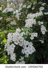 Close up of the blooming branch of Crataegus, commonly called hawthorn, thornapple, May-tree, whitethorn, or hawberry. Poland, Europe