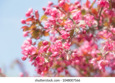 Close up of a blooming branch on a Thunderchild decorative crab apple tree