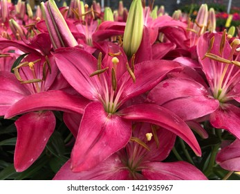 Close up of blooming bright pink Asiatic lily flowers in a garden