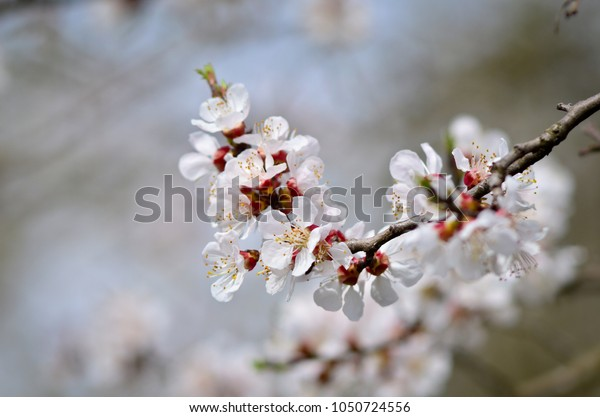 Close up of blooming cherry tree twig in spring with blurred background