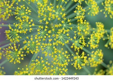 Close Blooming Dill Flowers in Garden