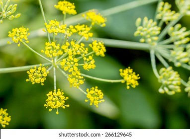 Close up of blooming dill flowers in kitchen garden