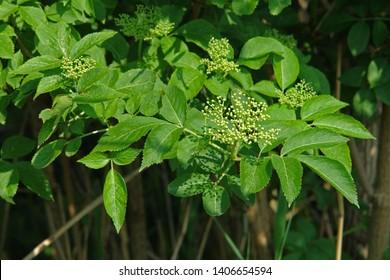 Close up of a blooming flower cluster of sambucus (elder, elderberry, black elder, European elder, European elderberry and European black elderberry). Poland, Europe