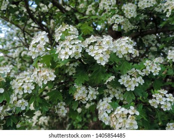 Close up of the blooming flowers of Crataegus, commonly called hawthorn, thornapple, May-tree, whitethorn, or hawberry. Poland, Europe