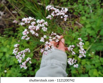 Close up of the blooming flowers of Valerian (Valeriana officinalis, Caprifoliaceae). Poland, Europe