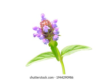 A close up of the blooming herb heal-all (Prunella vulgaris). Isolated on white.