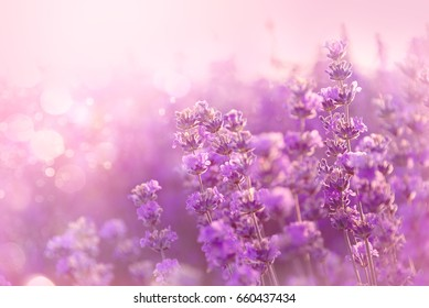 Close up of blooming lavender flowers. Lavender flowers background.