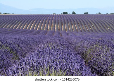 Close up of blooming lavenders in Valensole. Lines forming some rollers. A blue sky, blurred trees and mountains in the background. Provence in France.