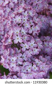 Close up blooming lilac