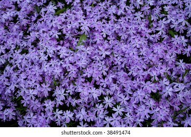 Close up blooming lilac flowers . lilac background
