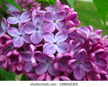 A close up of blooming lilac flowers with a green foliage background.