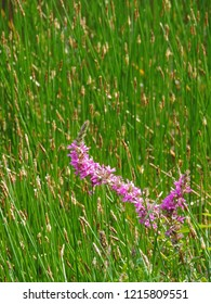 Close up of the blooming Lythrum salicaria (purple loosestrife) among Eleocharis palustris, the common spike-rush, creeping spike-rush or marsh spike-rush, also known as spiked loosestrife, or purple