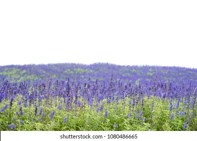 Close up of blooming Mealy Sage (Salvia farinacea) flowers field with white background