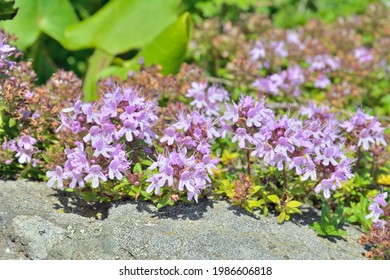 A close up of the blooming medicinal and aromatic herb thyme (Thymus komarovii).