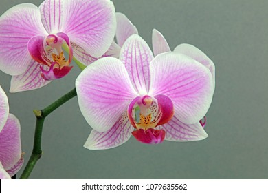 Close Up Of A Blooming Orchid Flower On Plain Grey Background.