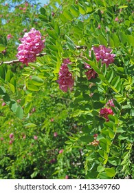 Close up of blooming pink flowers of Robinia hispida, known as the bristly locust, rose-acacia, or moss locust. Poland, Europe