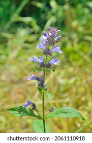A close up of the blooming plant catmint (Nepeta manchuriensis).