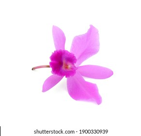 Close up blooming purple cattleya orchid flower isolated on white background
