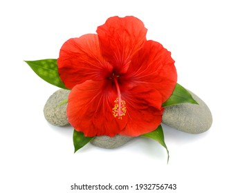 Close up blooming red hibiscus flower isolated on white background