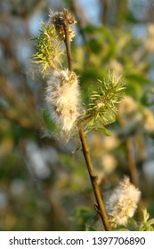 Close up of the blooming Salix cinerea (common or gray sallow, gray willow, grey sallow, grey willow, grey-leaved sallow, large gray or rusty sallow). Poland, Europe