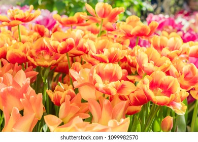 close up of blooming spring tulip flowera of an orange color
