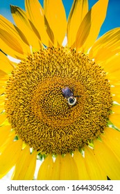 Close up of a blooming sunflower with the sun shining brightly behind it and a bumblebee pollinating at the center of the yellow flower on a summer day.