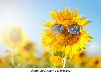 close up of blooming sunflowers wearing sunglasses among the fields on the sunny day with clear blue sky. fun idea of smiling human face on sunflower. - Shutterstock ID 1673956102