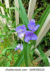 Close up of the blooming Tradescantia ohiensis, commonly known as bluejacket or Ohio spiderwort. Poland, Europe