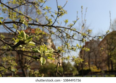 close up blooming tree in spring in czech republic in prague