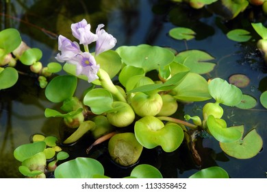 Close up of the blooming violet flower of Eichhornia crassipes, commonly known as common water hyacinth. Poland, Europe