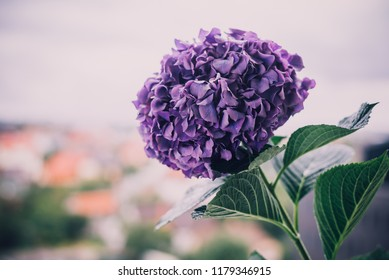 Close up of blooming violet hortensia (hydrangea) flower on the blurred background.
