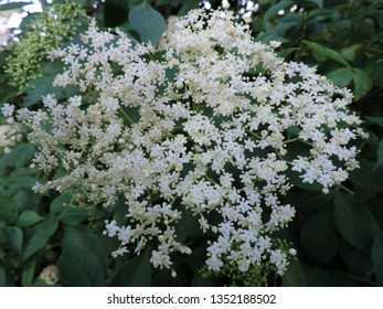 Close up of a blooming white flower cluster of sambucus (elder, elderberry, black elder, European elder, European elderberry and European black elderberry) in a men's hand. Poland, Europe