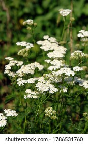 Close up of the blooming white flowers of Achillea millefolium, commonly known as yarrow or common yarrow