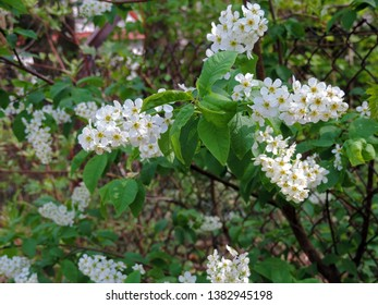Close up of the blooming white flowers of Prunus padus, known as bird cherry, hackberry, hagberry, or Mayday tree. Poland, Europe