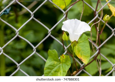 Close up of blooming white hedge bindweed flower calystegia sepium climbing a fence with natural green background and copyspace. Selective focus. Shallow depth of field.