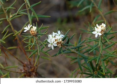 Close up of the blooming white inflorescence of Rhododendron tomentosum (syn. Ledum palustre), commonly known as marsh Labrador tea, northern Labrador tea or wild rosemary. Poland, Europe