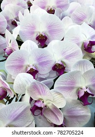 close up of blooming white orchid flowers