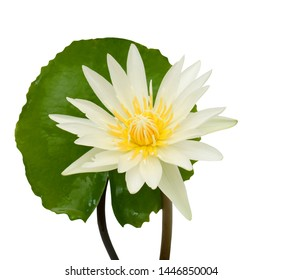 Close up blooming white water lily flower isolated on white background
