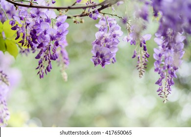 Close up of blooming wisteria flowers