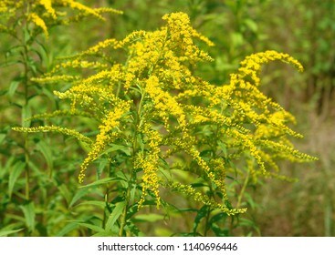 Close up of the blooming yellow inflorescence of Solidago canadensis, known as Canada goldenrod or Canadian goldenrod. Poland, Europe
