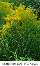 Close up of the blooming yellow inflorescences of Solidago canadensis, known as Canada goldenrod or Canadian goldenrod. Poland, Europe