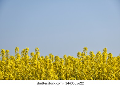Close up of a blossom rape field by a cloudless blue sky