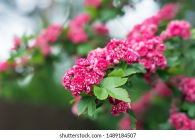 Close up of blossoming hawthorn tree branch with cluster of pink flowers