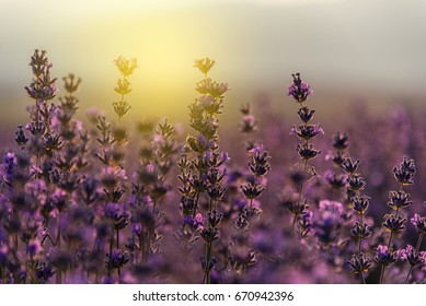 Close up of blossoming lavender in a field