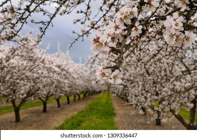Close up of blossoms on a flowering almond tree in a California orchard in winter
