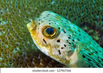 close up of blowfish underwater in ocean agains coral