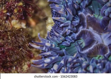 Close Up of a Blue Anemone