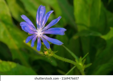 Close up of a blue Chicory flower. Also known as Wild Endive and Wild Succory. Ashbridges Bay Park, Toronto, Ontario, Canada.