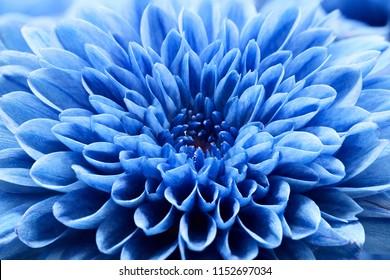 close up blue chrysanthemum flower.macro texture flower.