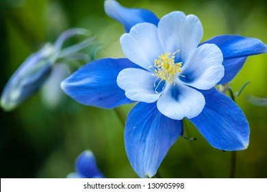 Close up of Blue Columbine wildflower blossom and bud growning in Aspen tree forest